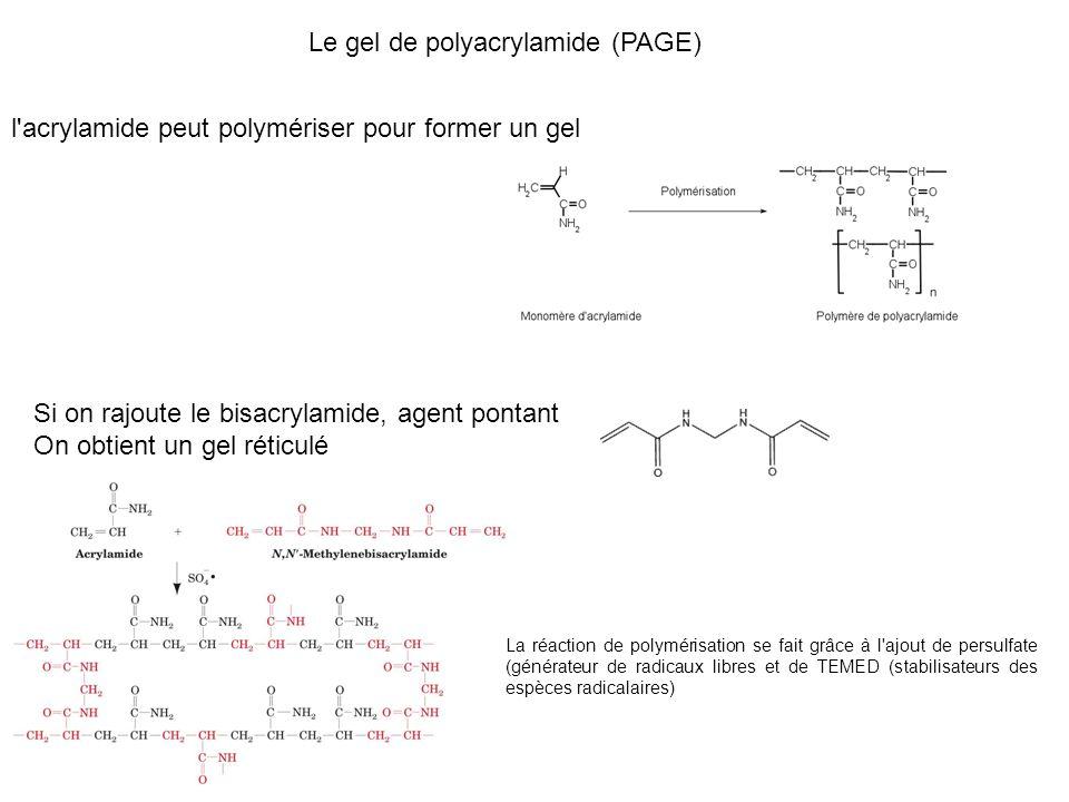 Le gel de polyacrylamide (PAGE)