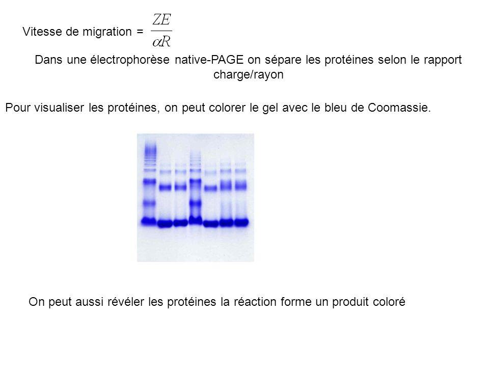 Vitesse de migration = Dans une électrophorèse native-PAGE on sépare les protéines selon le rapport charge/rayon.