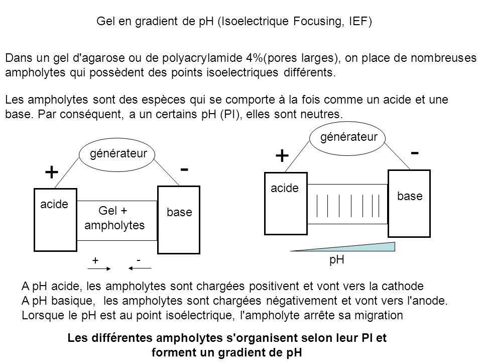 - + - + Gel en gradient de pH (Isoelectrique Focusing, IEF)