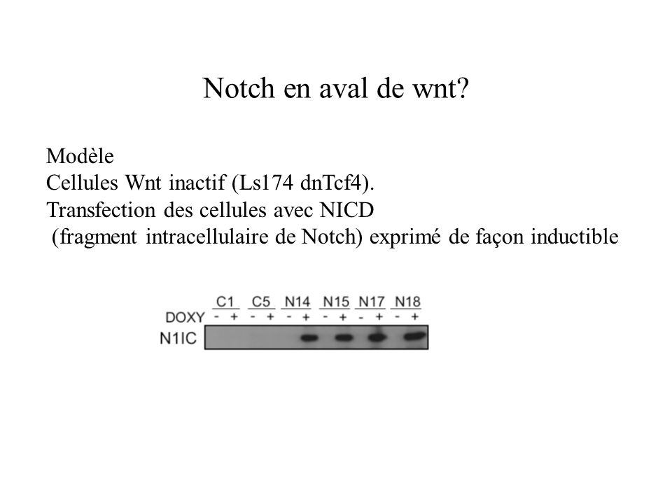 Notch en aval de wnt Modèle Cellules Wnt inactif (Ls174 dnTcf4).
