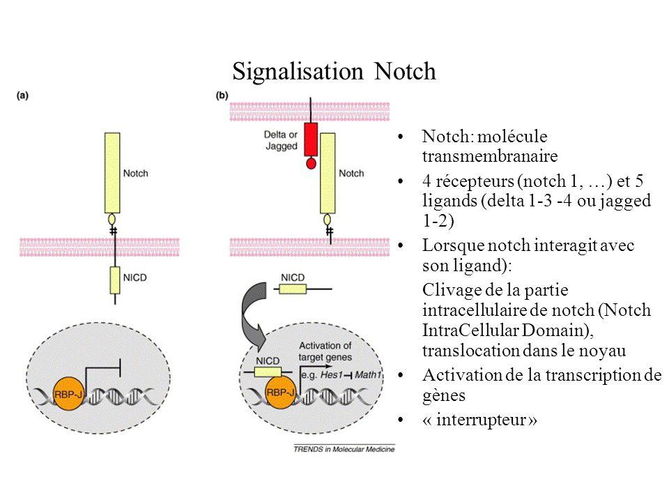 Signalisation Notch Notch: molécule transmembranaire
