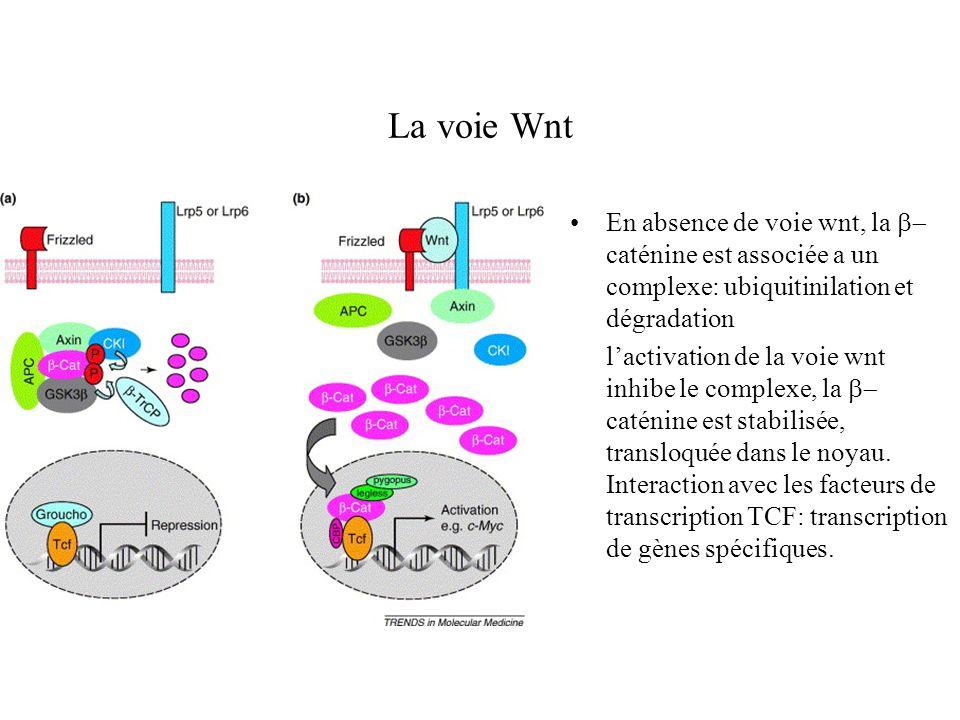 La voie Wnt En absence de voie wnt, la b-caténine est associée a un complexe: ubiquitinilation et dégradation.
