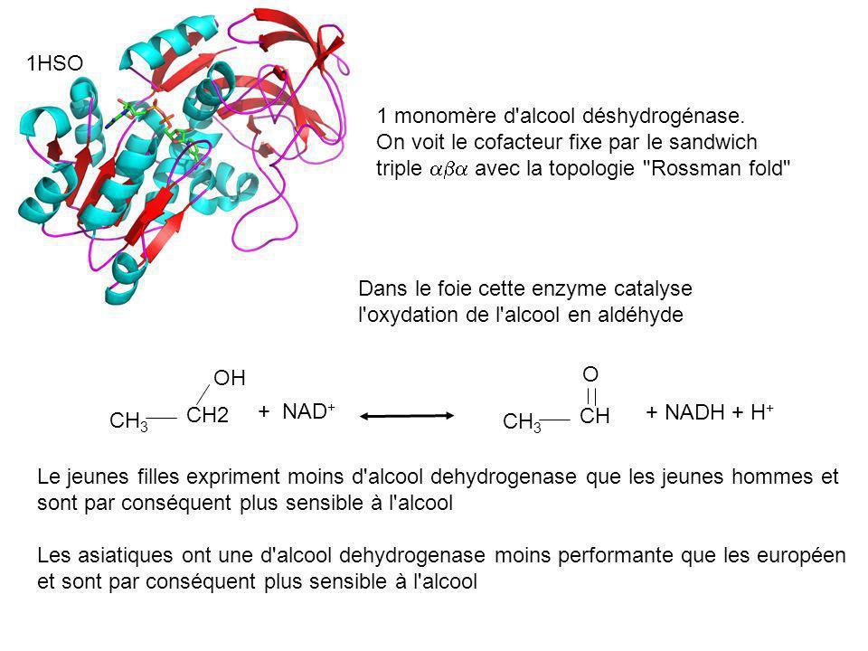 1HSO1 monomère d alcool déshydrogénase. On voit le cofacteur fixe par le sandwich triple aba avec la topologie Rossman fold