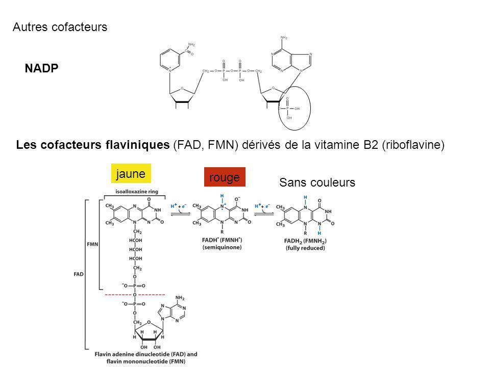 Autres cofacteurs NADP. Les cofacteurs flaviniques (FAD, FMN) dérivés de la vitamine B2 (riboflavine)