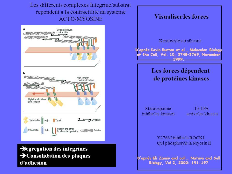 Les forces dépendent de protéines kinases