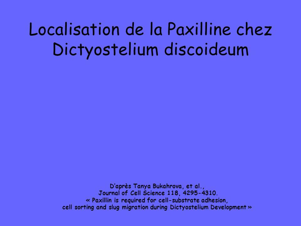 Localisation de la Paxilline chez Dictyostelium discoideum
