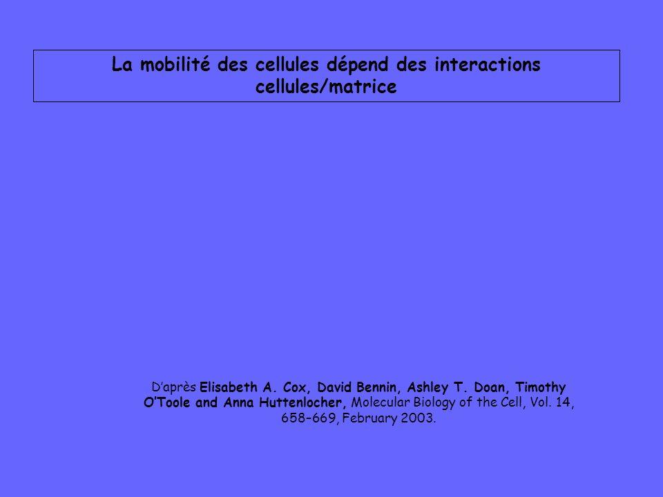 La mobilité des cellules dépend des interactions cellules/matrice