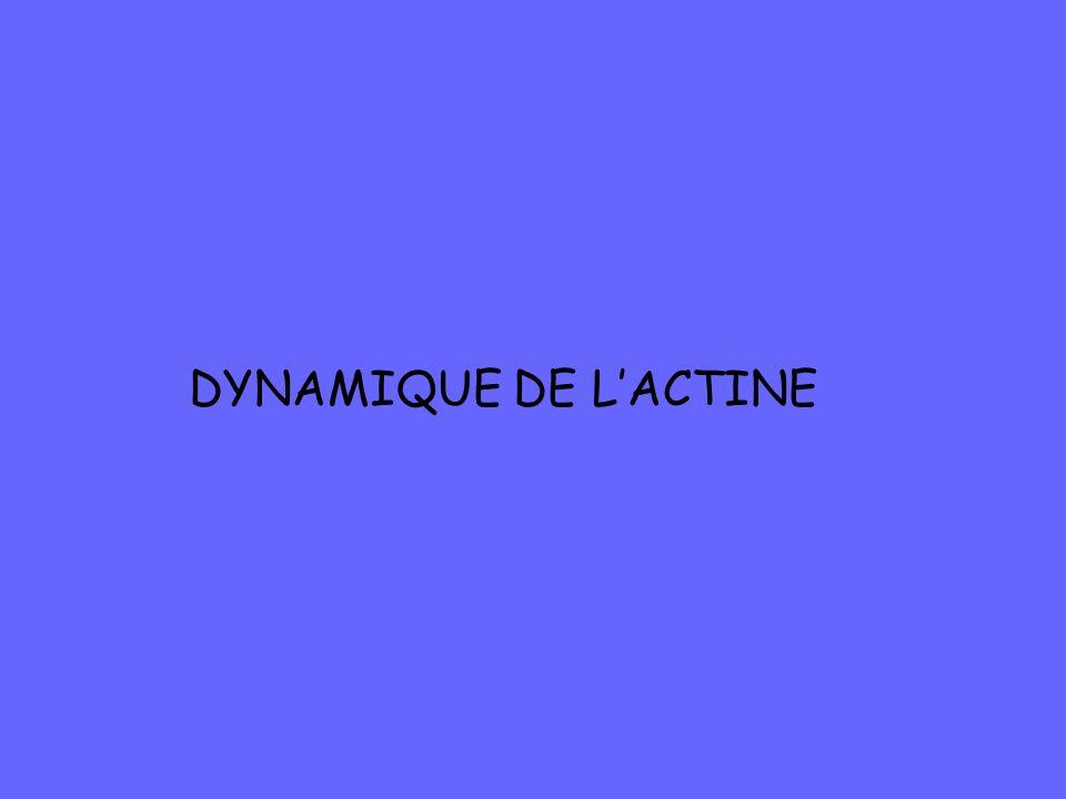 DYNAMIQUE DE L'ACTINE