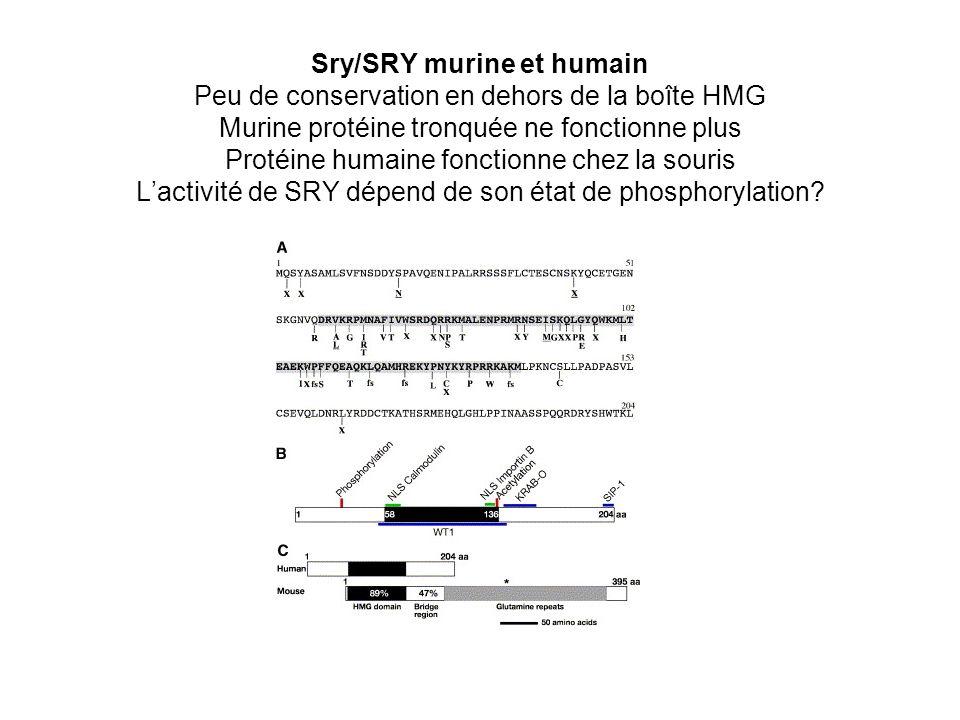 Sry/SRY murine et humain Peu de conservation en dehors de la boîte HMG Murine protéine tronquée ne fonctionne plus Protéine humaine fonctionne chez la souris L'activité de SRY dépend de son état de phosphorylation