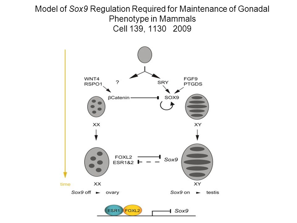 Model of Sox9 Regulation Required for Maintenance of Gonadal Phenotype in Mammals Cell 139, 1130 2009