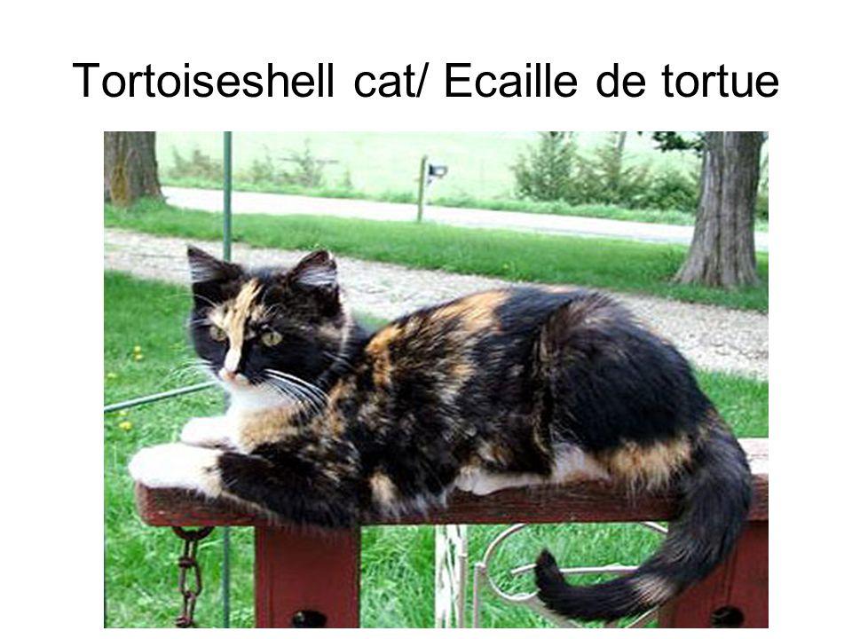 Tortoiseshell cat/ Ecaille de tortue