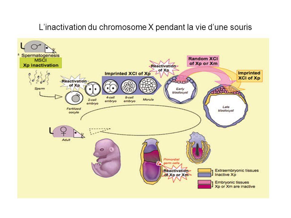 L'inactivation du chromosome X pendant la vie d'une souris
