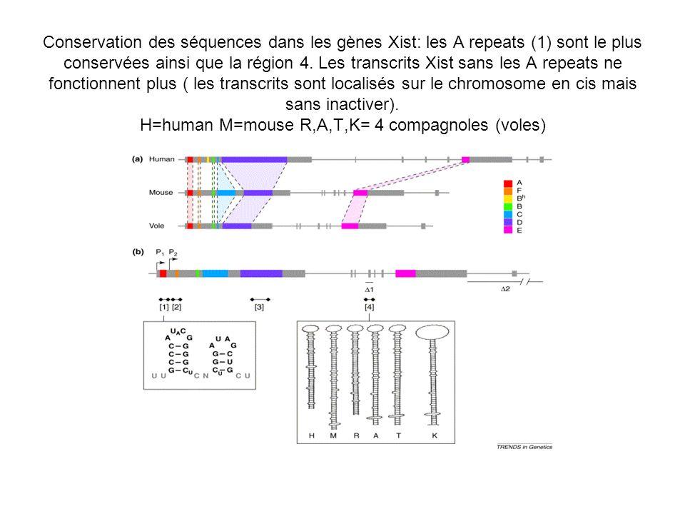 Conservation des séquences dans les gènes Xist: les A repeats (1) sont le plus conservées ainsi que la région 4. Les transcrits Xist sans les A repeats ne fonctionnent plus ( les transcrits sont localisés sur le chromosome en cis mais sans inactiver). H=human M=mouse R,A,T,K= 4 compagnoles (voles)