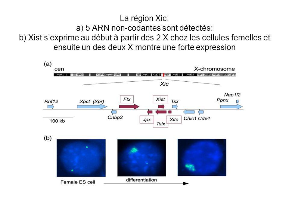 La région Xic: a) 5 ARN non-codantes sont détectés: b) Xist s'exprime au début à partir des 2 X chez les cellules femelles et ensuite un des deux X montre une forte expression
