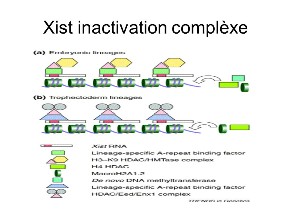 Xist inactivation complèxe