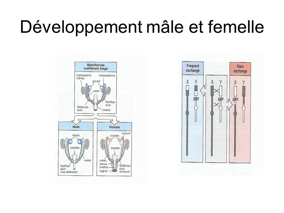 Développement mâle et femelle