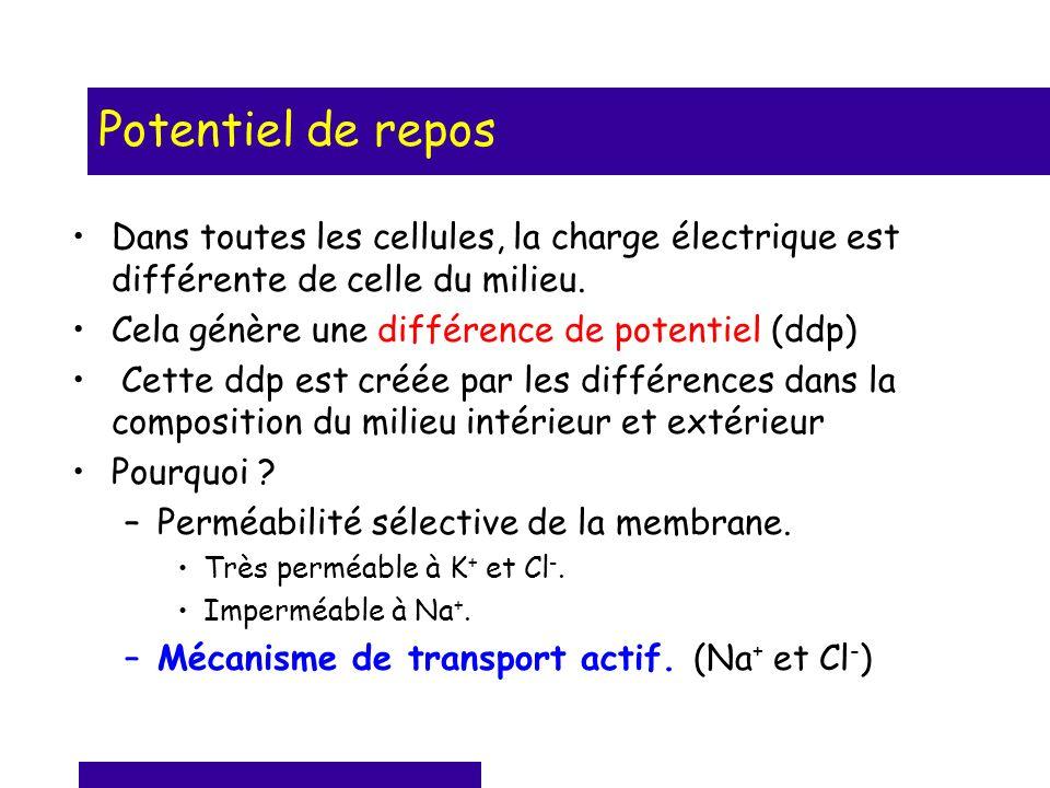 Potentiel de repos Dans toutes les cellules, la charge électrique est différente de celle du milieu.