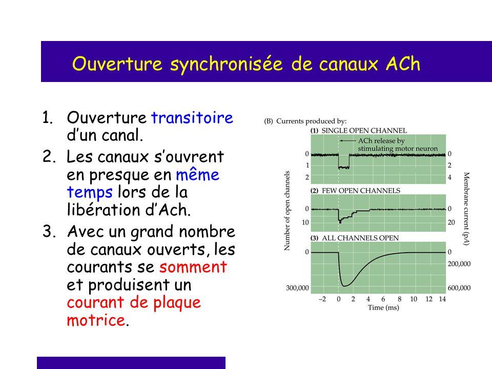 Ouverture synchronisée de canaux ACh