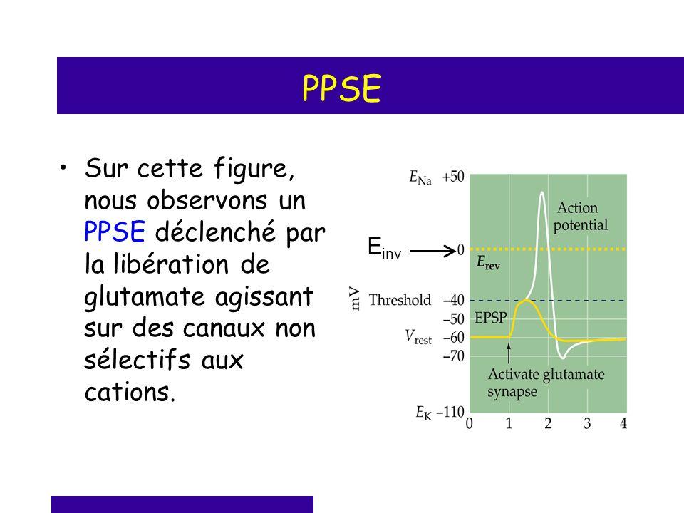 PPSE Sur cette figure, nous observons un PPSE déclenché par la libération de glutamate agissant sur des canaux non sélectifs aux cations.