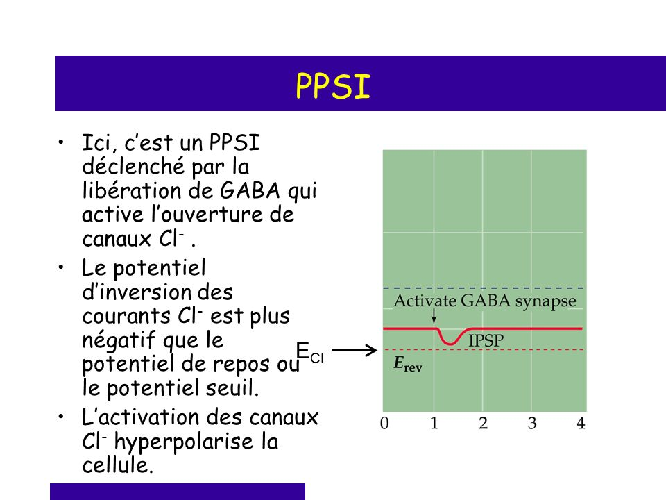 PPSI Ici, c'est un PPSI déclenché par la libération de GABA qui active l'ouverture de canaux Cl- .