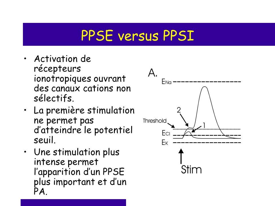 PPSE versus PPSI Activation de récepteurs ionotropiques ouvrant des canaux cations non sélectifs.