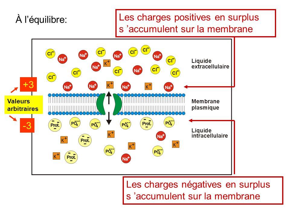 Les charges positives en surplus s 'accumulent sur la membrane