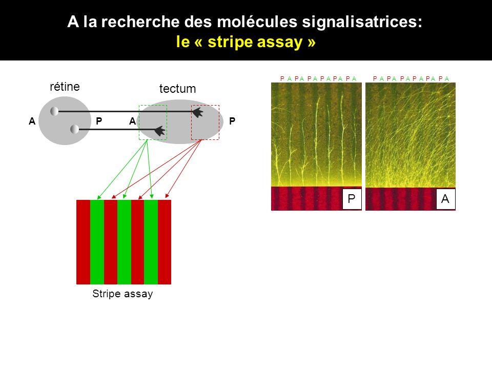 A la recherche des molécules signalisatrices: