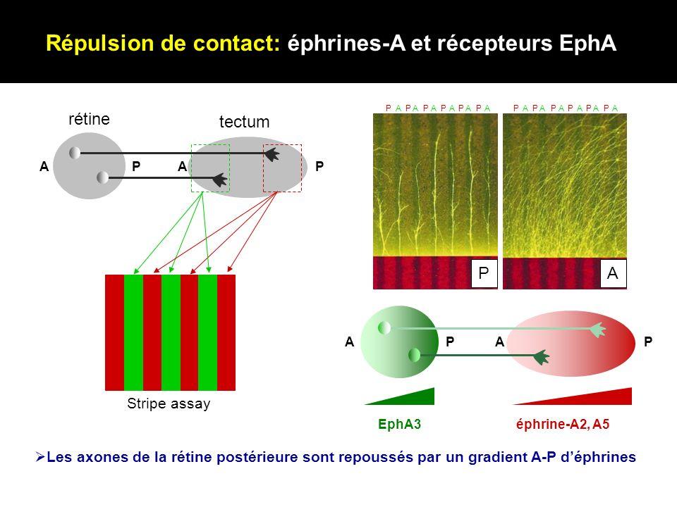 Répulsion de contact: éphrines-A et récepteurs EphA