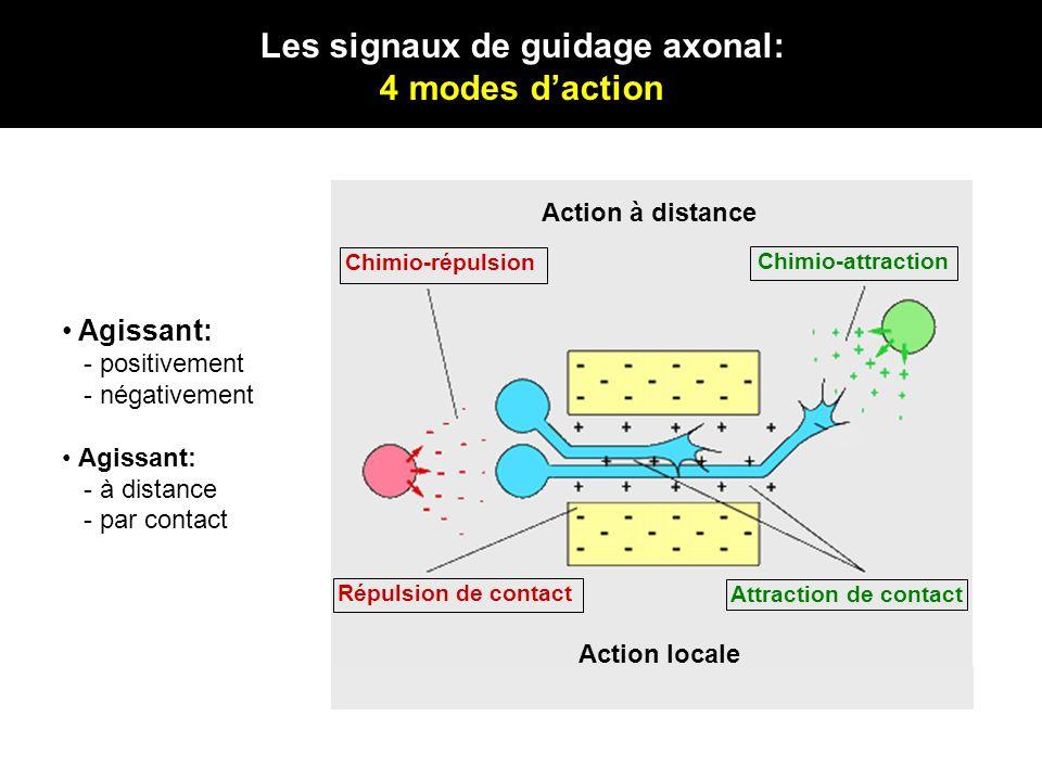 Les signaux de guidage axonal: