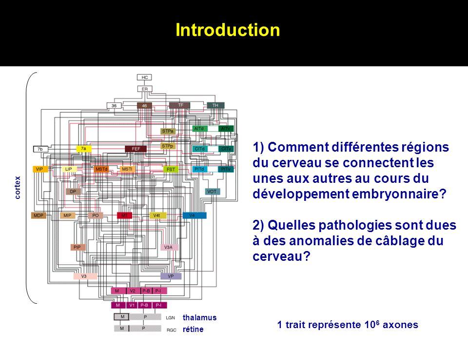 Introduction 1) Comment différentes régions du cerveau se connectent les unes aux autres au cours du développement embryonnaire