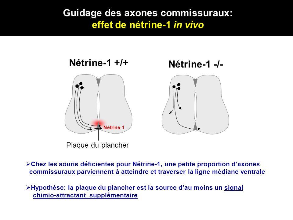 Guidage des axones commissuraux: effet de nétrine-1 in vivo