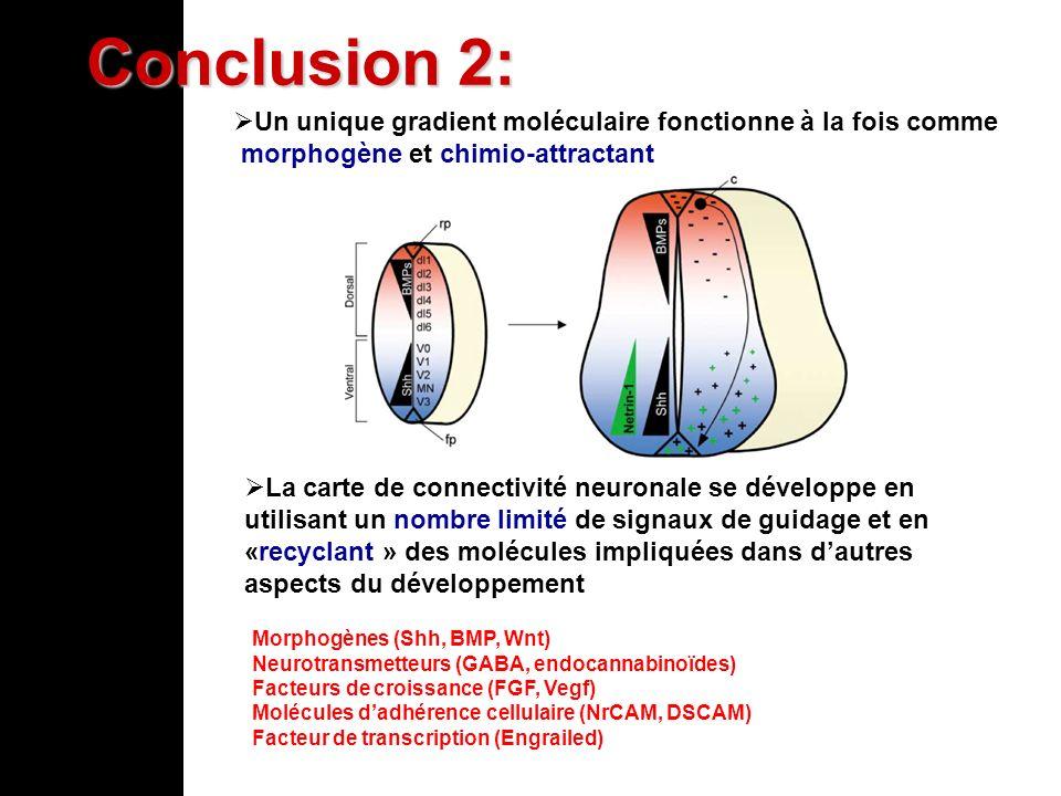 Conclusion 2: Un unique gradient moléculaire fonctionne à la fois comme. morphogène et chimio-attractant.