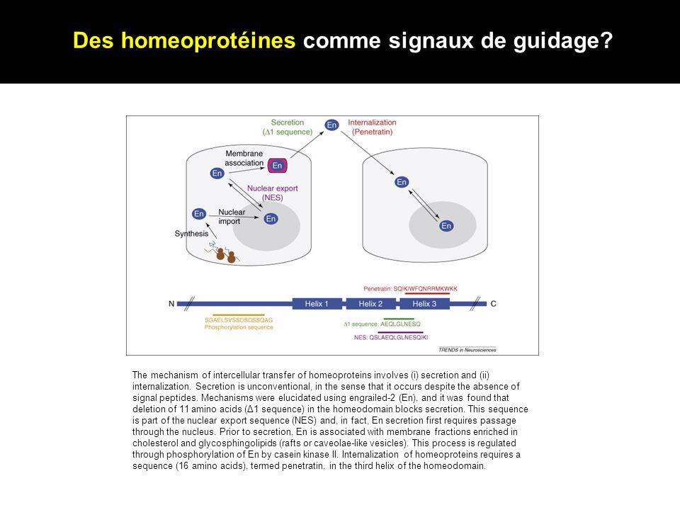 Des homeoprotéines comme signaux de guidage
