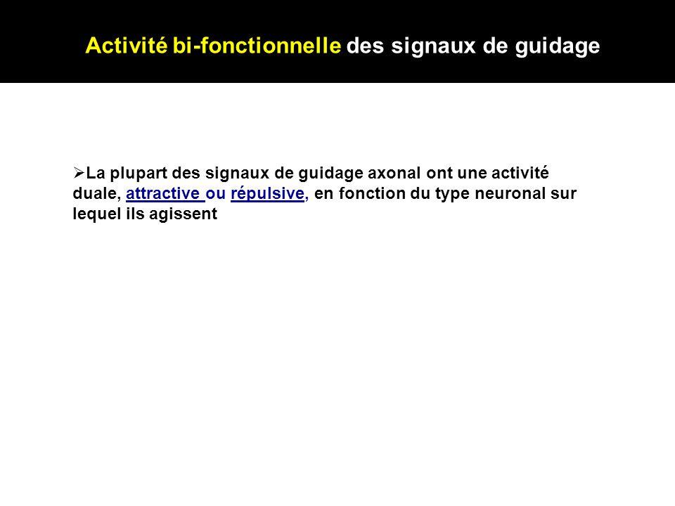 Activité bi-fonctionnelle des signaux de guidage