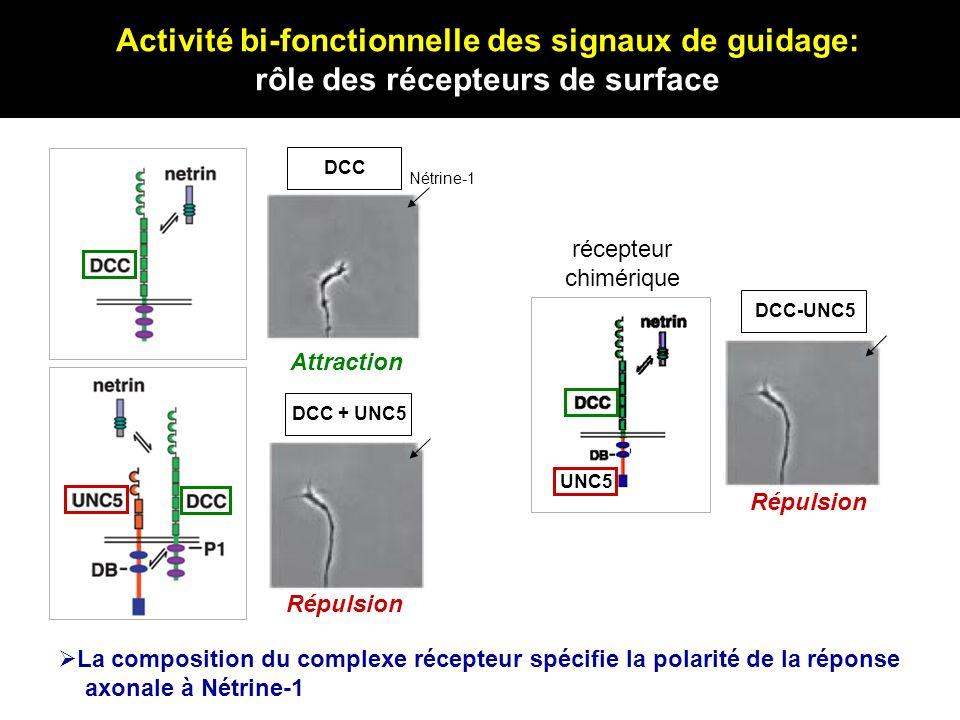Activité bi-fonctionnelle des signaux de guidage: