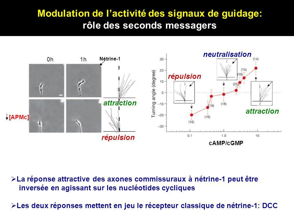 Modulation de l'activité des signaux de guidage: