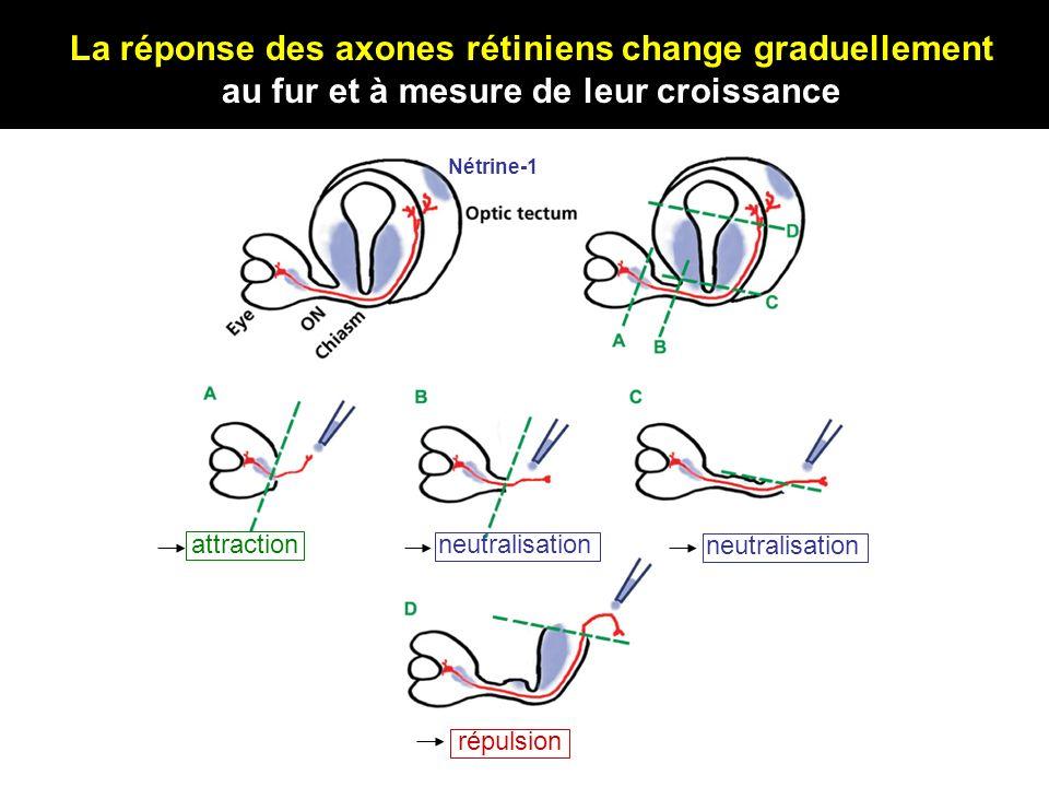 La réponse des axones rétiniens change graduellement