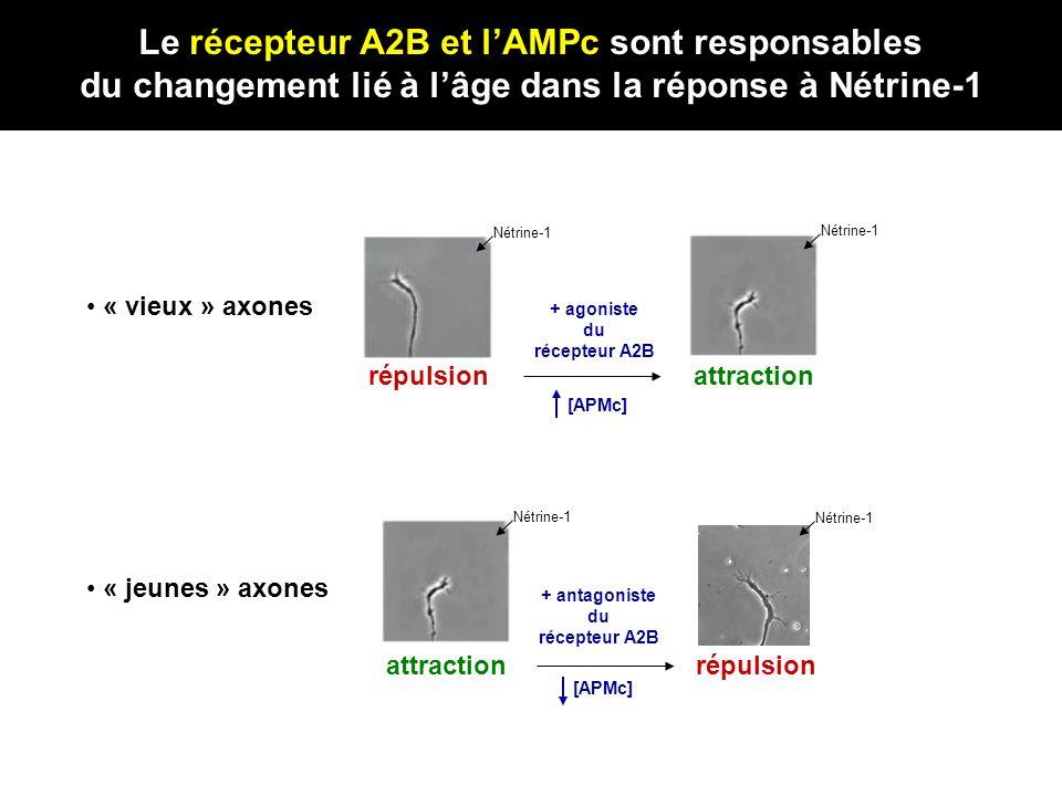 Le récepteur A2B et l'AMPc sont responsables