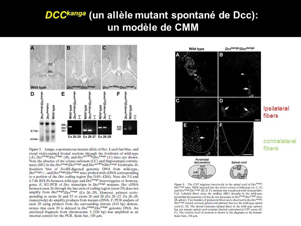 DCCkanga (un allèle mutant spontané de Dcc):