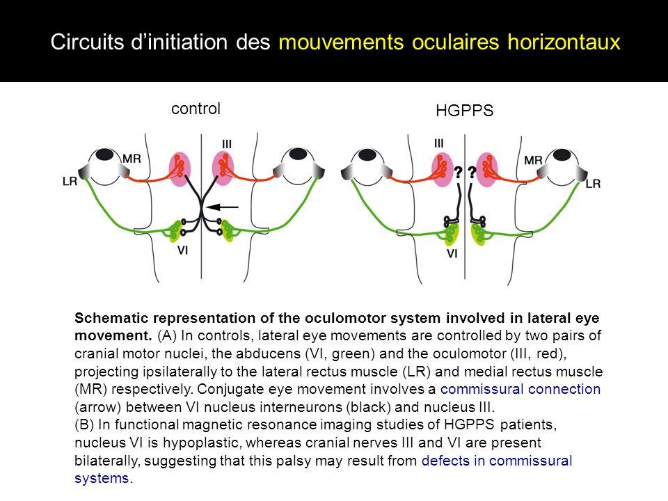 Circuits d'initiation des mouvements oculaires horizontaux