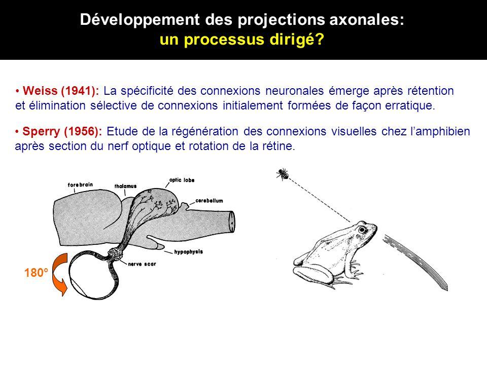 Développement des projections axonales: