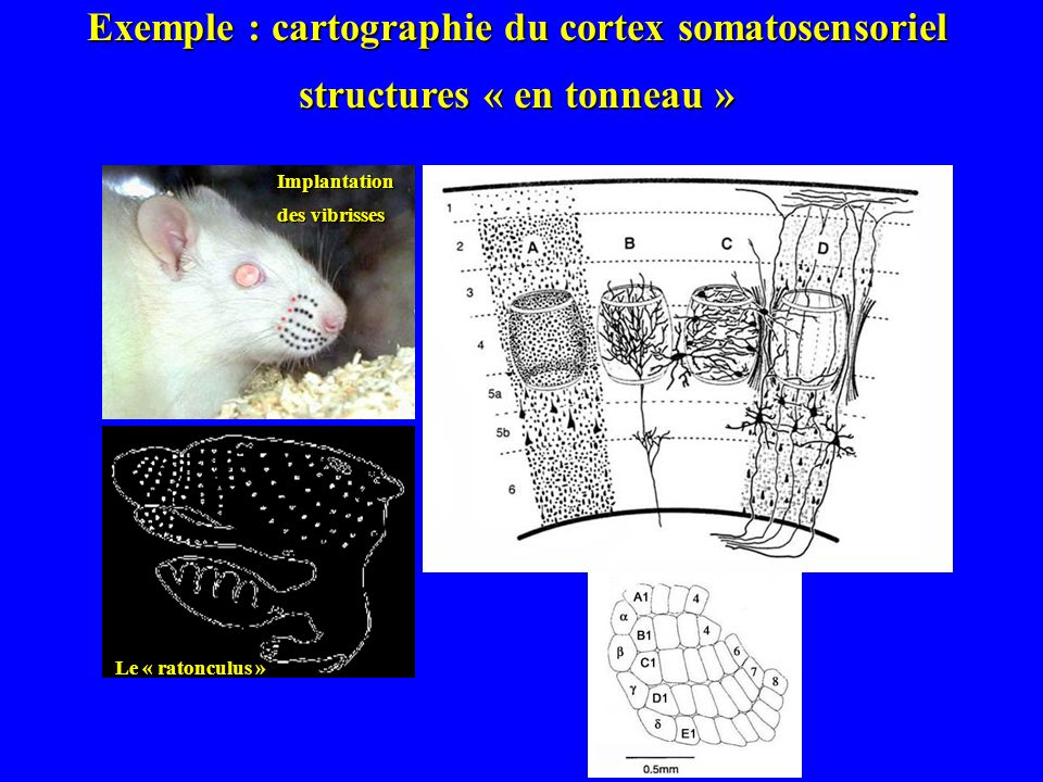 Exemple : cartographie du cortex somatosensoriel
