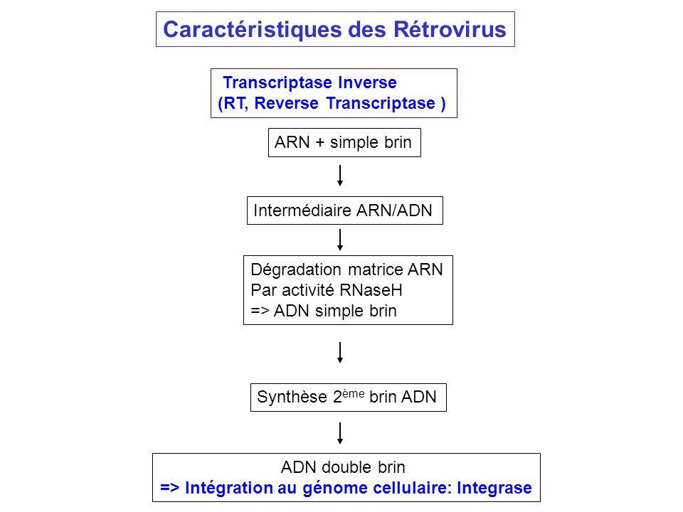 => Intégration au génome cellulaire: Integrase