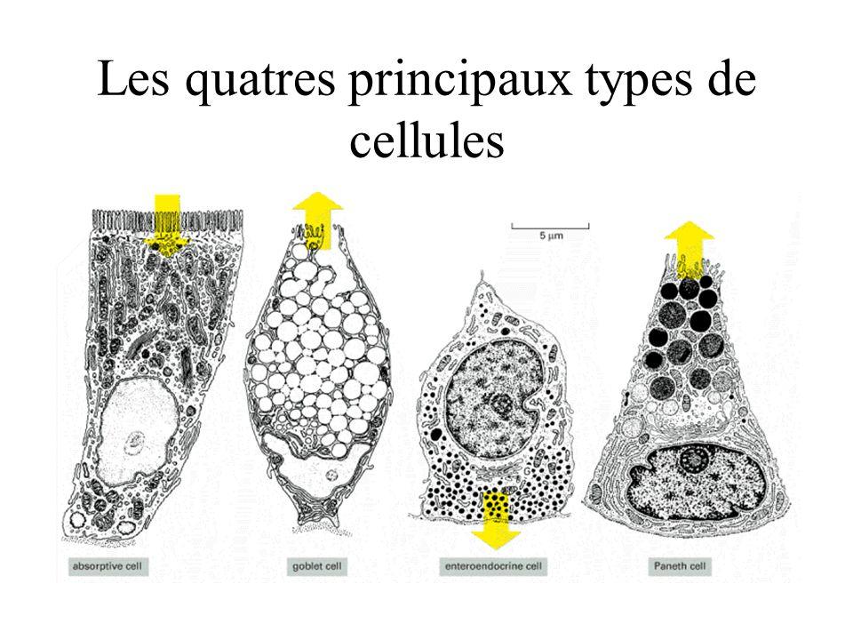 Les quatres principaux types de cellules