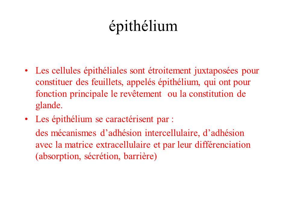 épithélium