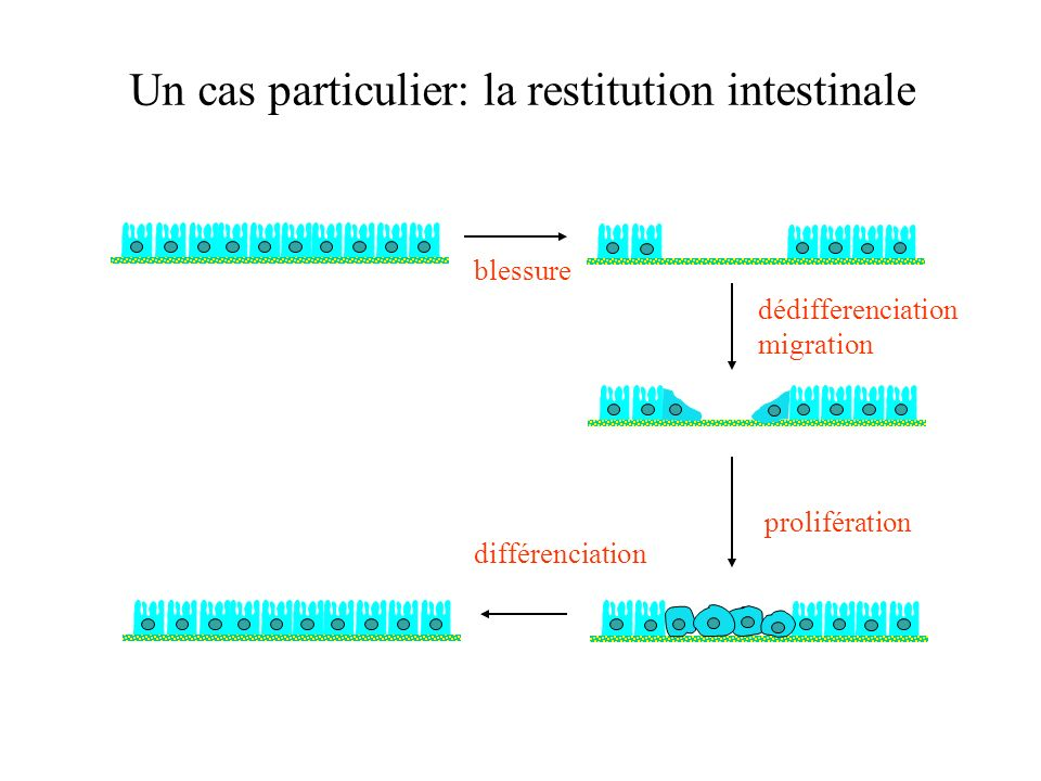 Un cas particulier: la restitution intestinale