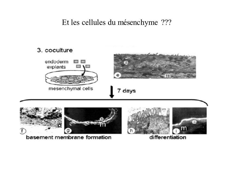 Et les cellules du mésenchyme