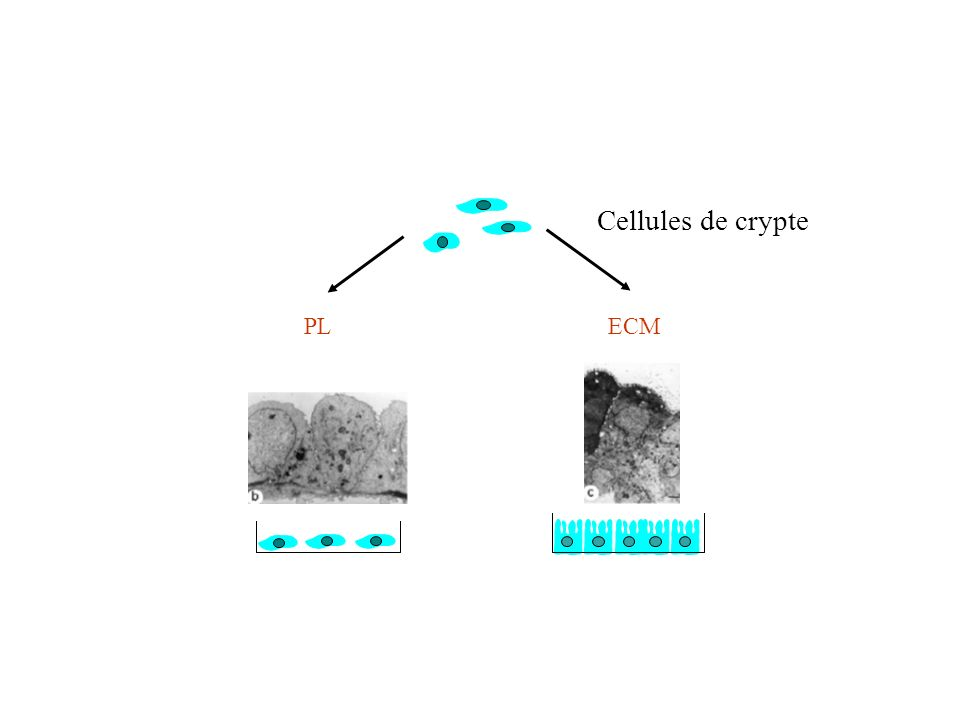 Cellules de crypte PL ECM