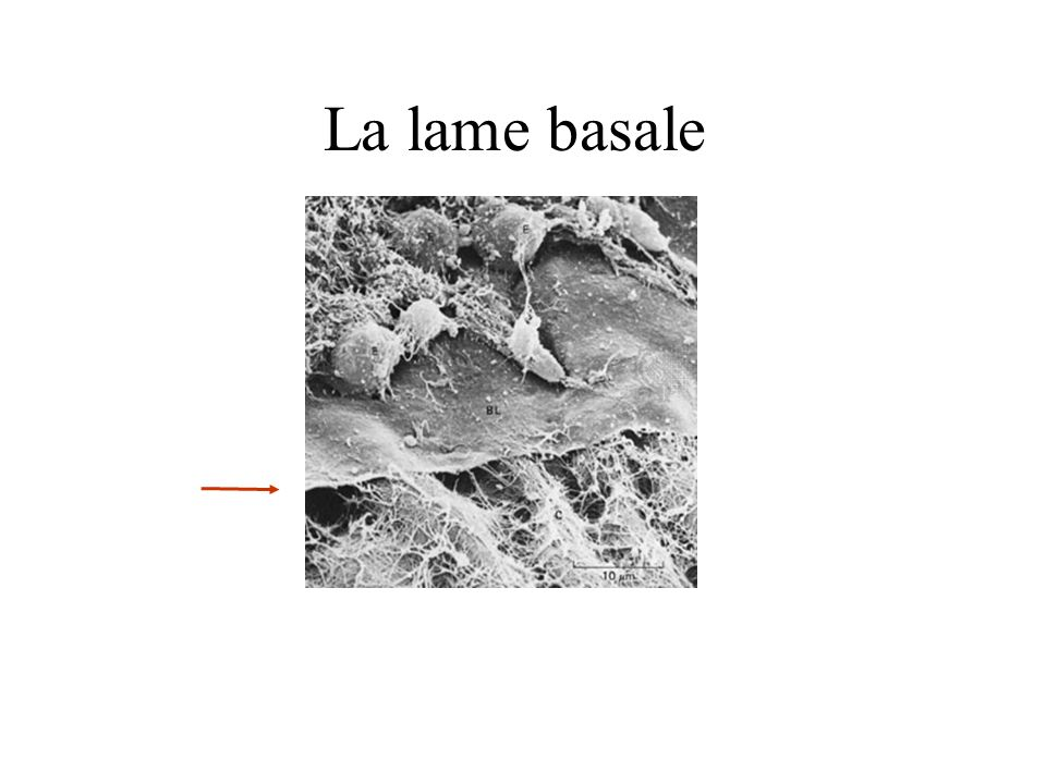 La lame basale