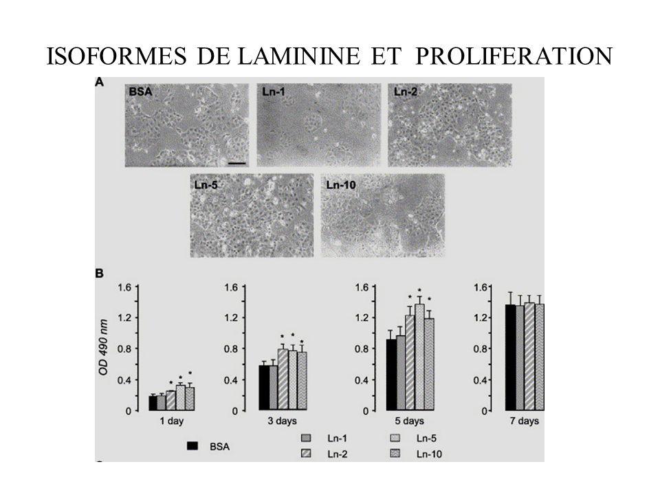 ISOFORMES DE LAMININE ET PROLIFERATION